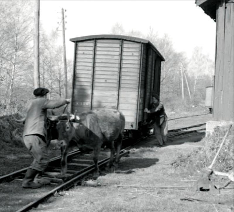 wagons bovins